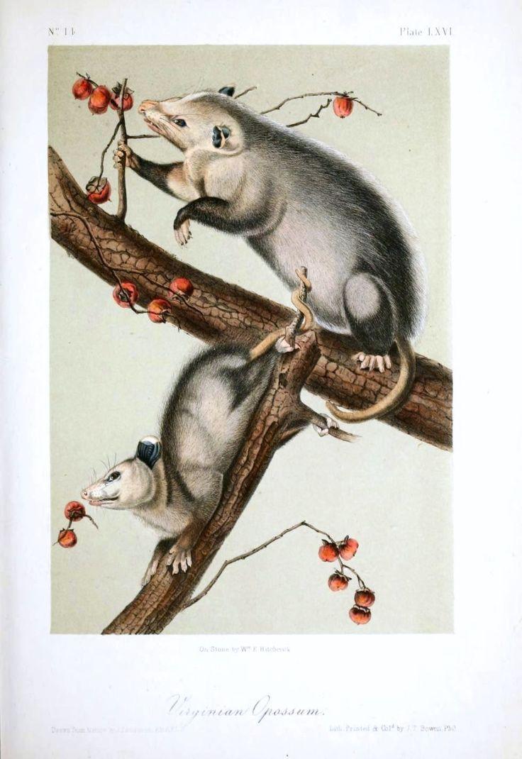 Audubons Opossom