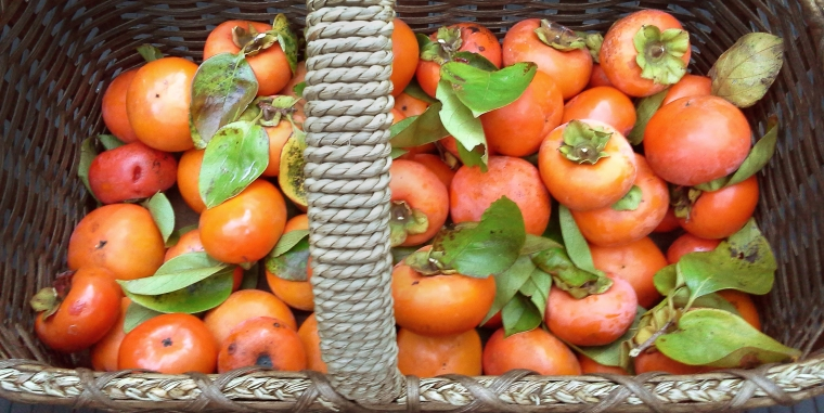 persimmons in basket